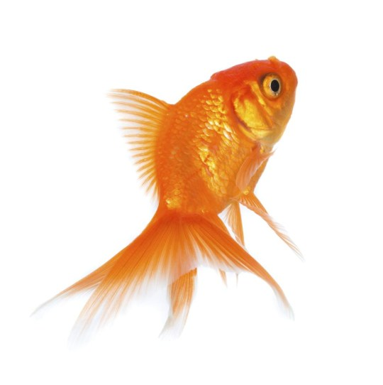 Gold fish isolated on a white background. cookelma/cookelma