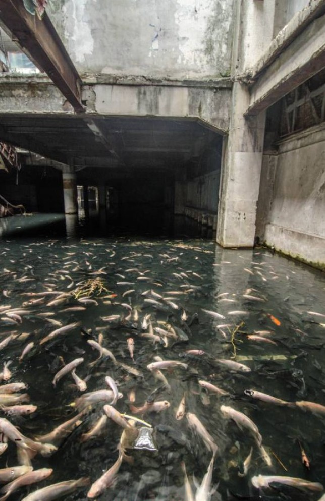 """Mandatory Credit: Photo by Jesse Rockwell/REX (3880989d)  Koi and Catfish have made the flooded basement their home  Abandoned Shopping Mall Becomes Urban Aquarium  An inquisitive photographer had a surprise when he discovered an abandoned Thai shopping mall had been taken over - by exotic fish.    Jesse Rockwell says he witnessed an """"absolutely staggering amount of fish"""" living in what was the New World shopping mall.    The 30-year-old had been living in Bangkok when he heard rumours of the spectacle's existence. What he found was a nondescript, rusty fence with a sign in Thai reading """"strictly no entrance beyond this point"""".    He explains: """"I discovered the location through a friend. We had both lived in Bangkok for nearly ten years, and he had heard about it from local friends.    """"The relatively unknown hidden gem lies down a nondescript soi (side-street) in the old town. Without a good knowledge of Bangkok geography, one would be hard pressed to believe anything interesting lies behind the gate.""""    Jesse, now living in Santa Rosa, California, says: """"New World shopping mall was a four storey former shopping mall originally constructed as an eleven storey building. It was found to be in breach of old town Bangkok's four storey limit on building heights.    """"The top seven floors were demolished to adhere to building codes in 1997. In 1999 the mall burned due to suspected arson committed by a competitor in the area. The disaster resulted in several casualties, and the building has remained abandoned ever since. Not having a roof, the basement floor remains under several feet of water year round.      """"At some point in the early 2000's an unknown person began introducing a small population of exotic Koi and Catfish species. The small population of fish began to thrive and the result is now a self-sustained, and amazingly populated urban aquarium.    """"I will not tell exactly where it is,...  For more information visit http://www.rexfeatures.com/stacklink/BQRRZFBTH"""