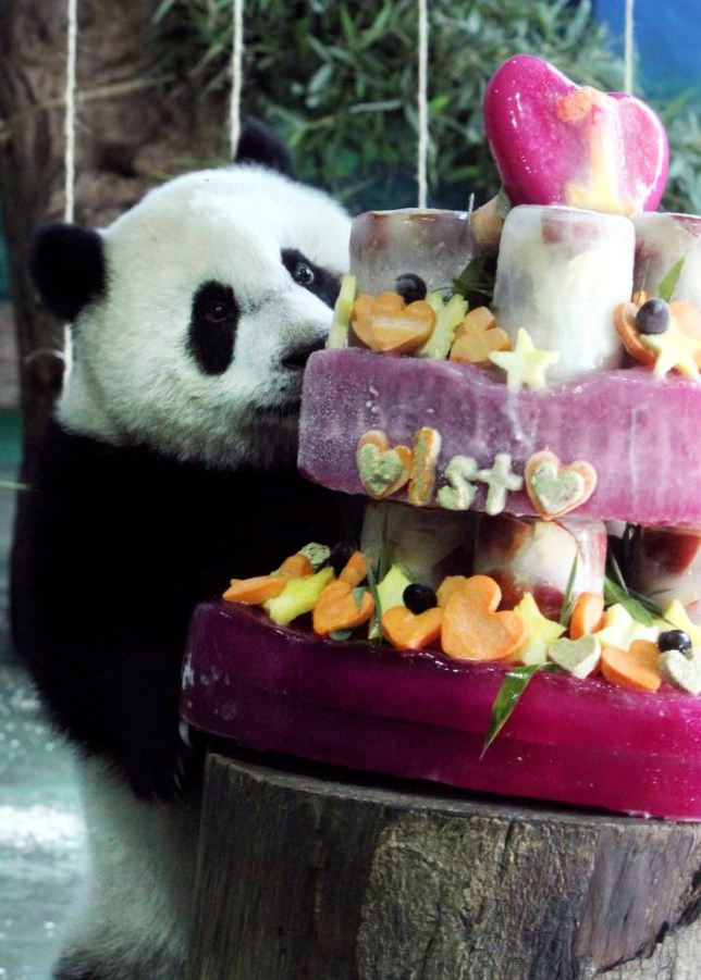 Taiwan's panda cub Yuan Zai enjoys her birthday cake, in celebration of her first birthday, at the Taipei Zoo in Taipei, Taiwan, Sunday, July 6, 2014. The panda cub, whose parents Tuan Tuan and Yuan Yuan,  were gifts from China to mark warming ties with Taiwan in 2008. (AP Photo/Chiang Ying-ying)