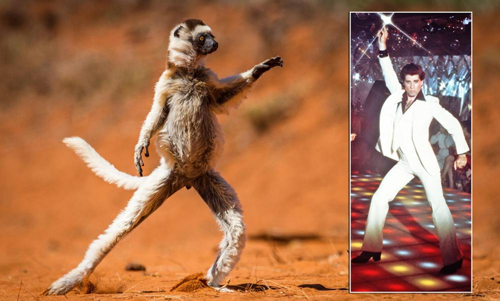 Saturday Night Lemur: Prancing animal replicates John Travolta's signature pose