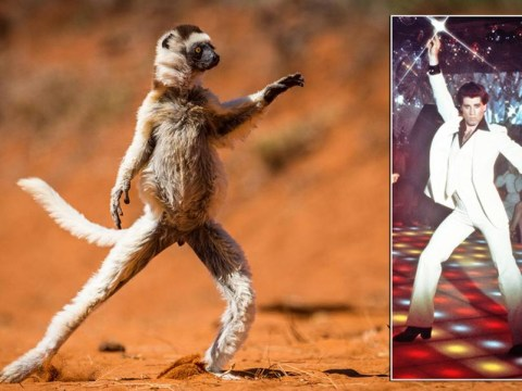 Saturday Night Lemur: Prancing animal replicates John Travolta's signature pose