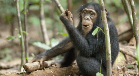 'Quickie?' Scientists translate bonobo and chimp communication