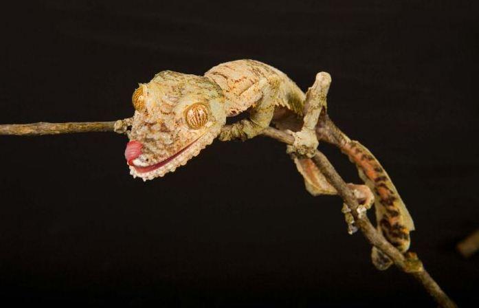 Gecko, sex satellite