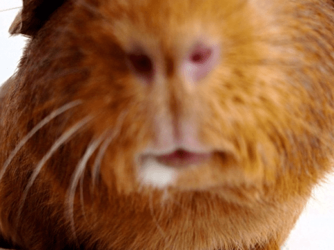 12 guinea pigs that were not expecting that photo