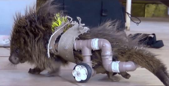 Paraplegic porcupine, animals with wheels, Supervet