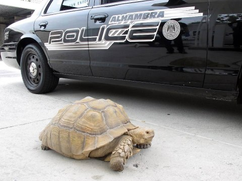 Police catch escapee tortoise after tense 1mph chase through city