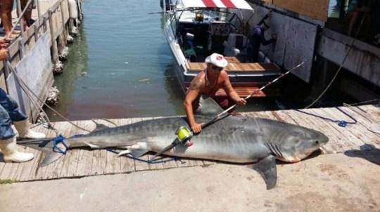 Fisherman Ryan Spring Catches 809 Pound Tiger Shark Bigger Than His