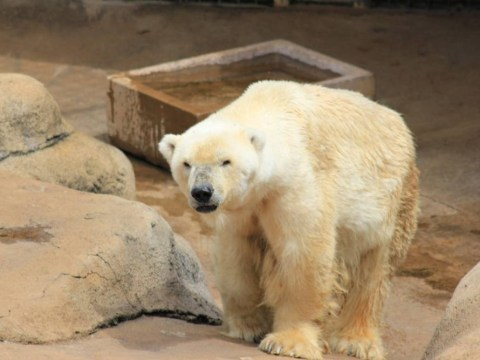 Tissues ready… Africa's last polar bear dies of a broken heart after losing mate