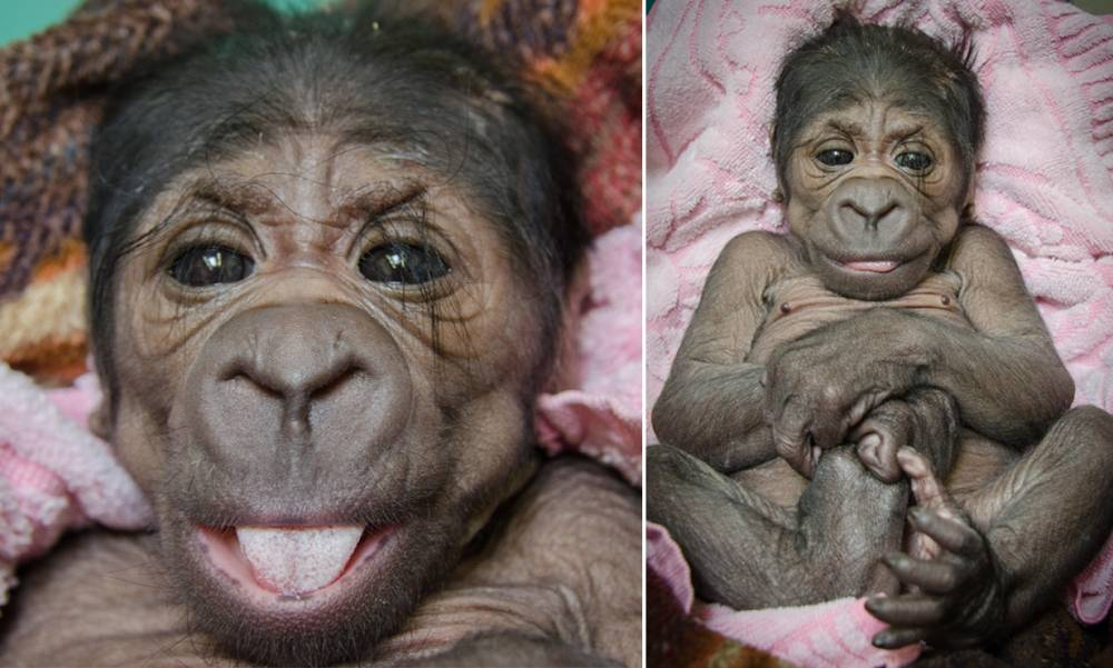 This adorable baby gorilla was rejected by her mother