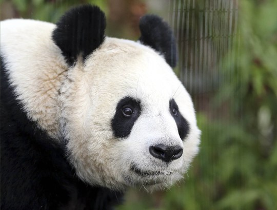 Tian Tian is expected to give birth later this month