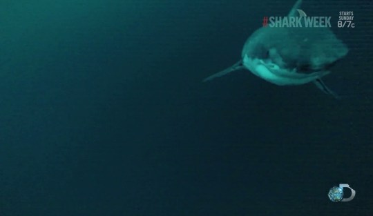 The Great White stalks its prey (Picture: SharkCam)