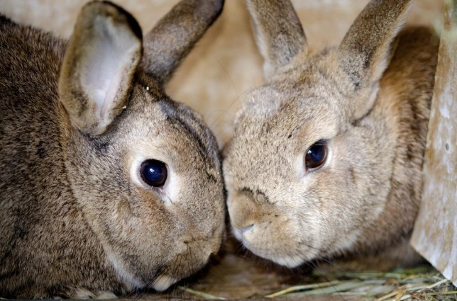 Rabbits zupfinger/zupfinger