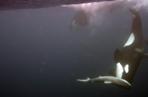 Pod of killer whales take down tiger shark