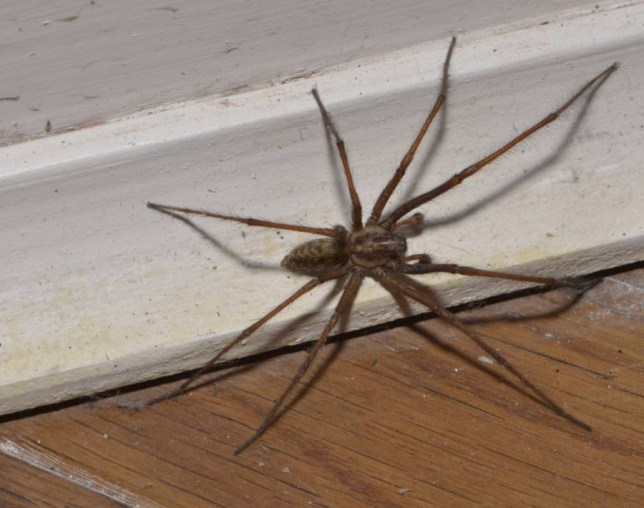 Mandatory Credit: Photo by FLPA/REX (3280217a)  Giant House Spider (Tegenaria gigantea) adult female, on skirting board, Chipping, Lancashire, England  Nature