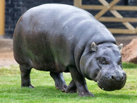 Runaway truck kills eight people butchering hit-and-run hippo – would we lie to you?