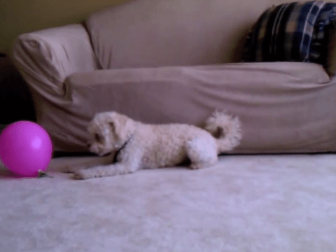 There can only be one winner in the battle of balloon versus dog