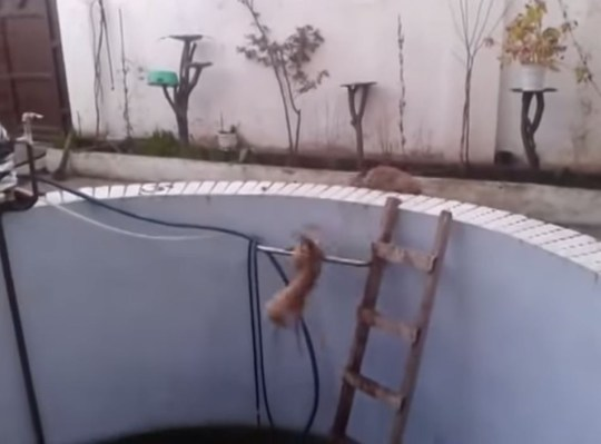 The poor cat, which fell in twice, was pushed in by a rival kitty on the pool's edge (Picture: YouTube)