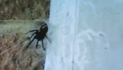 Monster spider charges from its nest after living in garage for five years