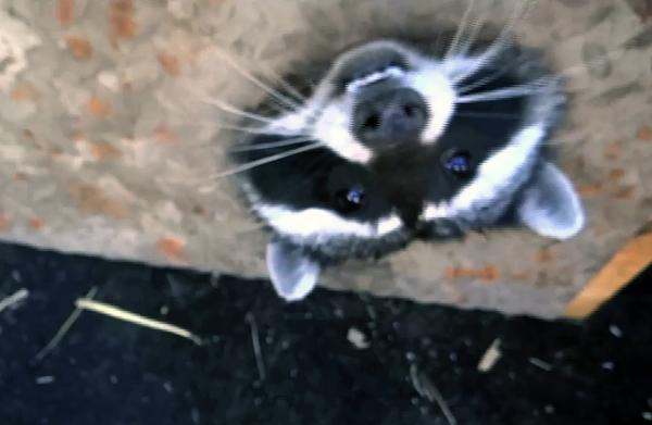 Raccoon proves there's still room for laughter in this world by getting his head stuck in a metal grate