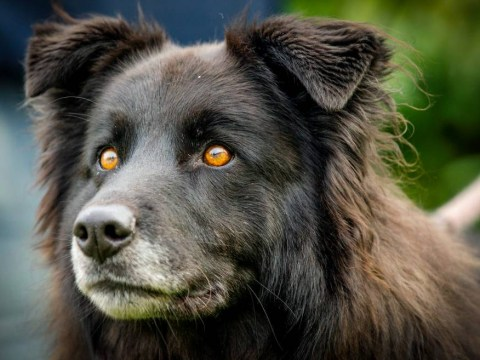 Devil-eyed dog can't get a home because of the colour of her irises