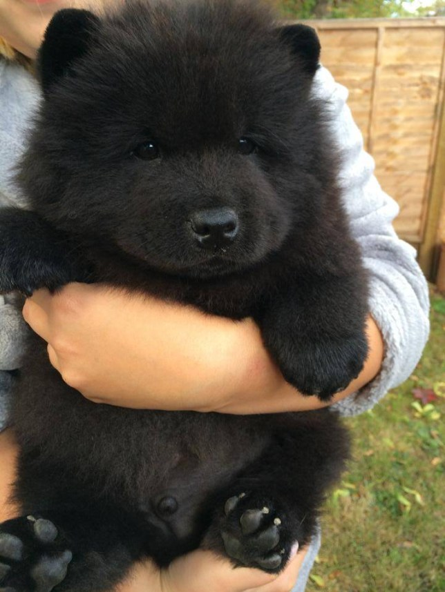 "A devastated dog owner says he feels as though he has lost a child after thieves broke into his house and stole his Chow Chow puppy.  Jamie Green, 29, today issued a desperate appeal for the return of the dog, a ""designer"" breed, adding that the theft had left him feeling violated.  He bought Misiu, which means little bear in Polish, as a surprise for his girlfriend Joanna Gluminska, 21, five weeks ago. He spent £1,600 on the dog, buying it from a local registered breeder.  Since then Misiu had become an online hit after Mr Green posted photographs of the dog on Imgur, where they were viewed almost 2.5?million times. A photograph of Misiu on Buzzfeed attracted 80,000 likes."