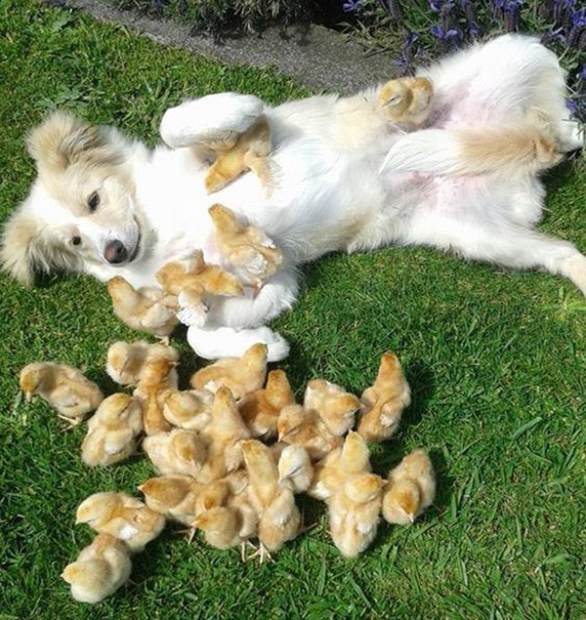 Dog playing with chicks: Reddit picture can teach you about