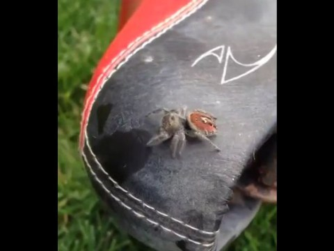 Man screams in panic as jumping spider pounces on him