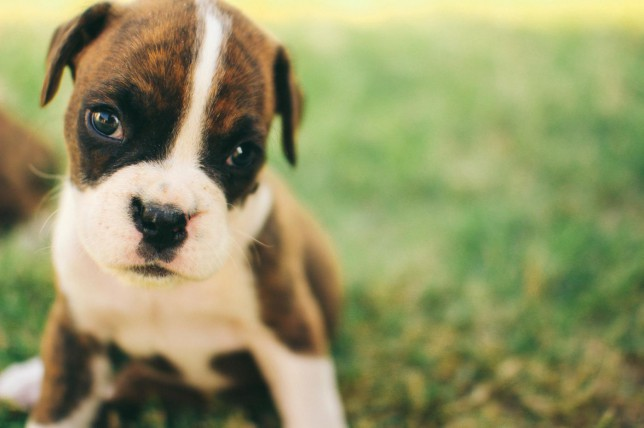 Close up of young black and brown puppy sitting in grass Andrew Holzschuh/Andrew Holzschuh