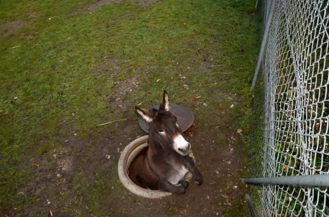 """RESTRICTED TO EDITORIAL USE / MANDATORY CREDIT: """"AFP PHOTO / KANTON POLIZEI BASEL-LANDSCHAFT"""", NO MARKETING / NO ADVERTISING CAMPAIGNS / DISTRIBUTED AS A SERVICE TO CLIENTS This picture released on November 3, 2014 by the Cantonal police of Basel-Landschaft shows a donkey that fell  into a manhole in Pratteln near Basel, northern Switzerland on early November 1, 2014. Only slightly injured, the animal was recued from its awkward position by the local fire brigade.    AFP PHOTO / KANTON POLIZEI BASEL-LANDSCHAFTHandout/AFP/Getty Images"""