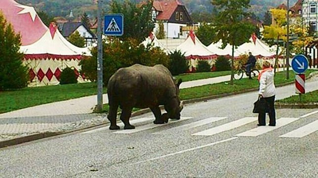 """Pic shows: A 2.5 tonne rhinoceros is in the middle of a zebra crossing. nnGerman circus staff have been given a warning by police after taking a 2.5 tonne rhinoceros for a walk in the park.nnPanicked locals in the town of Luckenwalde in the north-east German state of Brandenburg and raised the alarm after spotting the rhino, nicknamed Hulk, apparently walking without a lead or indeed anything to restrain him.nnPolice who turned up at the scene however discovered the animal back at the Circus Voyage with its keeper and everything under control. After cancelling the emergency call, they returned to the station, but a few hours later got the same call again reporting an escaped rhino.nnAnd this time they arrived sooner, and discovered the keeper and circus director taking the rhino for a walk to the local park.nnPolice spokesman Marcus Braun said: """"The circus staff were given a stiff talking to by the officers, and warned that it was not allowed to take rhinos onto the streets.""""nnThe circus said they didn't understand the fuss over the 34-year-old rhino being allowed to get some fresh air, and added that Hulk was completely tame and unlikely to harm anyone. But the offer of putting him on a lead to walk him in the park was rejected.nnThree years ago the same rhinoceros had also sparked a similar alert this time after he really had escaped from the circus while it was performing in in Goslar.nn(ends)n"""