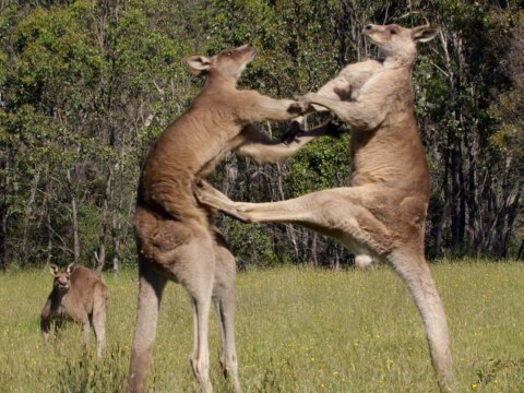 Life Story: Kangaroos take centre stage in this awesome fight sequence