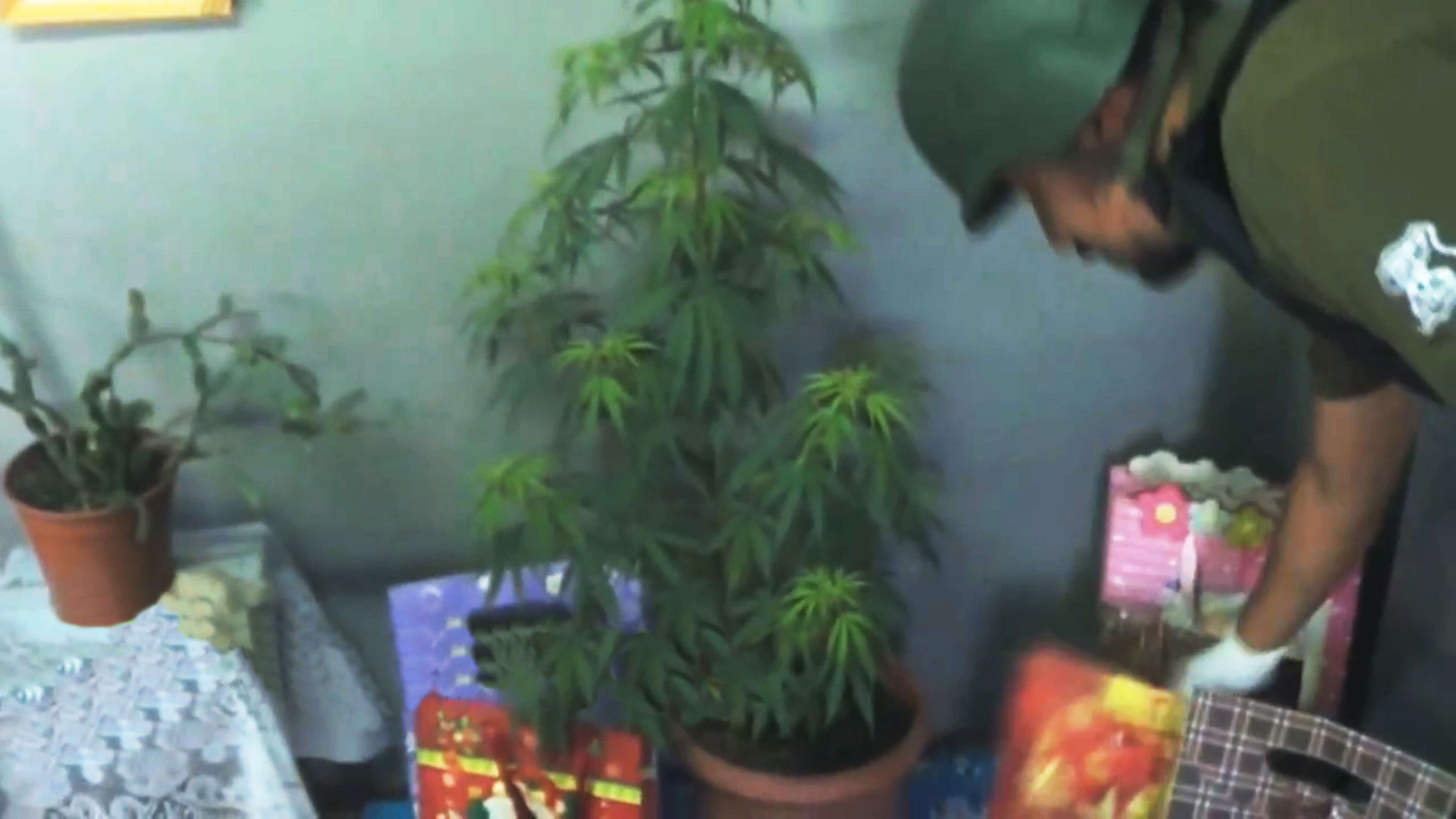 Mum is busted for using giant marijuana plant as Christmas tree