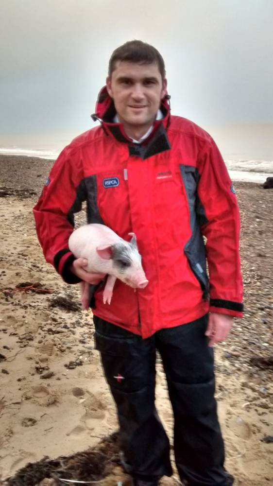 """Pictured is the runaway piglet who ended up swimming into the OCEAN on Covehithe beach, Suffolk with RSPCA inspector Jason Finch.  A piglet caused quite a splash when he went for a swim at the weekend, and had to be rescued from the sea by the RSPCA. See MASONS Story MNPIGLET. The charity was originally called on Sunday (30 November) after reports that the baby pig was stuck at the top of a cliff above Covehithe Beach. When we arrived we found the little animal had scrambled his way down to the beach, but when we approached him to try and take him back to his owner, he turned on his trotters and splashed straight out into the waves, RSPCA inspector Jason Finch said: """"I have never seen anything like it. I couldn't believe it when he darted straight into the sea like that.  """"He was completely unphased by the bubbling surf and started diving up and down among the waves for ages - upwards of ten minutes. """"He became a tiny black dot in the distance and at one point I thought he was heading to France. """"I was just wondering whether I would have to dive in myself when he started swimming in the more shallow end of the surf, so I just ran in and grabbed him.  """"He was safe and sound and in good health - in fact he did not even seem puffed out. Far fitter than many I know.""""  The piglet was returned straight to his owner. 4 December 2014"""