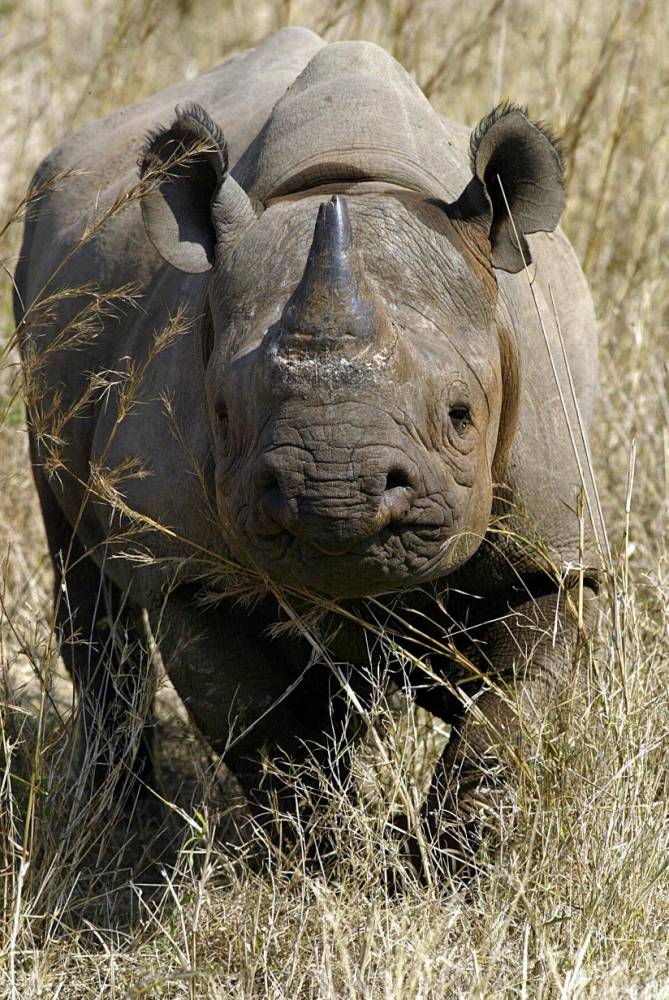 MALELANE, SOUTH AFRICA:  A black male rhinoceros is seen at a game farm in Malelane 30 September 2004. South Africa will ask the Convention of International Trade in Endangered Species of Wild Fauna and Flora (CITES) at a meeting that opened 02 October 2004 in Bangkok to be granted an annual hunting quota of 10 black rhinos. There are about 3,600 wild black rhinos in the world and South Africa, Zimbabwe, Kenya and Namibia -- which will ask for permission to hunt five rhinos per year at CITES -- are home to most of them. AFP-PHOTO / Alexander JOE  (Photo credit should read ALEXANDER JOE/AFP/Getty Images)
