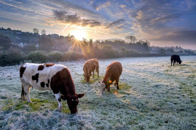 Cows enjoy the sunrise at Malmesbury, Wiltshire. (file pic) See SWNS story SWCOW; Cows can TALK scientists have revealed - but most farmers said they already knew they could. Teams of academics spent ten months studying the way the animals communicate with each other, and identified two distinct maternal 'calls'. Their findings show that when cows are close to their calves, they communicate with them using low frequency calls. But Martin Howlett, a farmer from Callington, Cornwall, found this no surprise as he has noticed the way calves spoke to their mum's years ago.