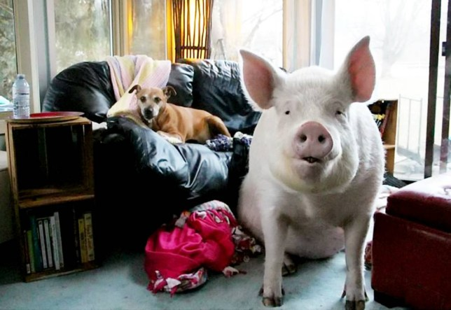 A couple have been forced to give over their farm home after adopting a micro-pig - which grew to a whopping 670 pounds.  See SWNS story SWPIG.  Steve Jenkins and Derek Walter adopted the pet swine thinking it would get no bigger than 70 pounds, but have now had to give up several chunks of their house for the animal.  Affectionately called Esther the Wonder Pig, she eats around £30 of food a week, and that is before all of the toys and vet appointments, which she requires every several months.  While toilet trained, she has become a little too big for the tight fitting sofa, so will often sleep on the floor on blankets sent in by adoring fans.  The huge cuddly animal, who lives in Ontario, Canada, has now become an internet sensation with more than 230,000 followers on Facebook alone.   The two-year-old pig was originally explained to the couple at a micro-pig but continued to grow and grow - now weighing more than a fully grown polar bear.