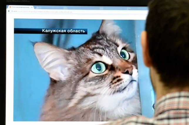 """A man looks at a homeless cat by the name of Masha, on January 16, 2015, in Moscow, on a computer screen displaying that the local cat """"saved"""" an abandoned baby boy in the town of Obninsk in the Kaluga region. The story took place in the town of Obninsk in the Kaluga region, where the baby was abandoned in the entrance-way to an apartment block and left lying on the floor on January 10, 2015, a day when temperatures were several degrees centigrade below zero. AFP PHOTO / STR-/AFP/Getty Images"""