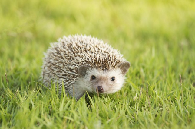 14 times African pygmy hedgehogs proved they are way cuter than cats