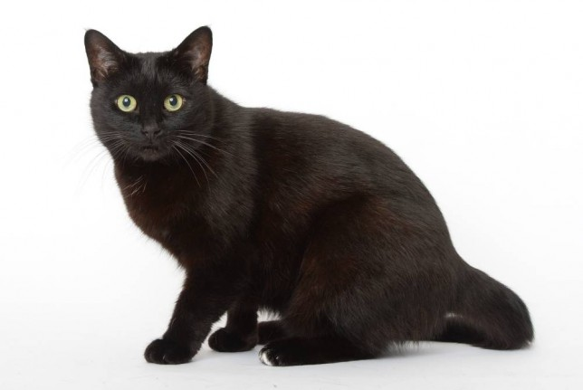 Abandoned black cats feature.  9 year old Perdy. Battersea Dogs and Cats Home. PICTURE MURRAY SANDERS.