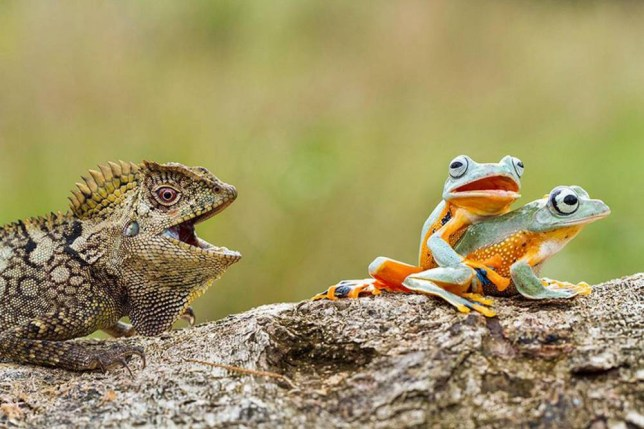 ***** ONLINE EBMAGO TILL 00.01am (Monday) *****  (PICTURED: TWO FROGS ARE INTERUPTED BY A LIZARD)  This brazen lizard got a front row seat to watch real life frogs-PORN.  The pair of flying frogs were caught in the compromising position by macro-wildlife photographer Hendy Mp, in West Kalimantan, Indonesia, last week. The 25-year-old stumbled across the amorous critters in his friend's garden who seemed unperturbed by the audience they had attracted. And one daring forest dragon lizard seemed unable to tear his eyes away from the duo as he approached hoping to make a meal of them.  But luckily despite being in the throes of passion the frogs realised just in time and escaped.  SEE MERCURY COPY