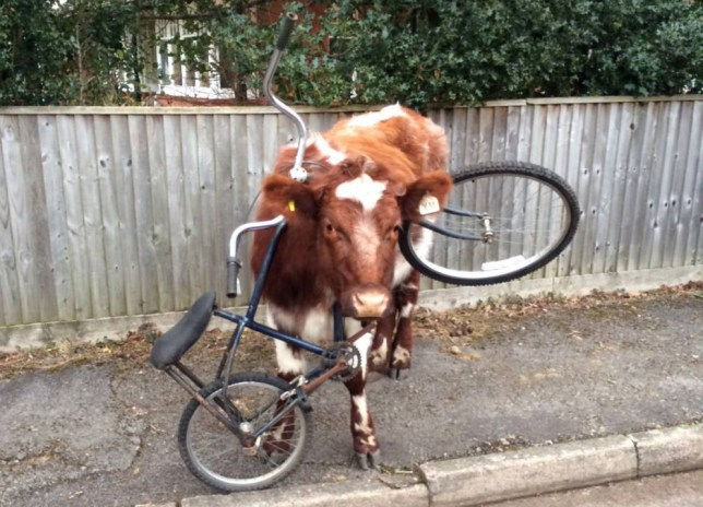 What moo looking at? Picture taken today in Brokenhurst, Hampshire. Today this cow manages to get her head stuck in one of the most unusual places - a bicycle. After getting her head stuck in the main frame of the blue bike, the cow stands on a pavement and looks puzzled but remains calm. © John Weiler/Solent News & Photo Agency UK +44 (0) 2380 458800
