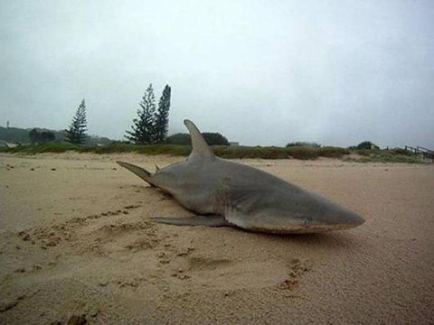 Sharknado actually happened: Shark stranded on beach after twin cyclones hit Australia