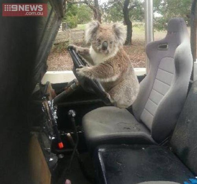 Driving koala  sourced by pej from  http://www.theguardian.com/environment/gallery/2015/feb/24/koala-tries-to-drive-in-pictures