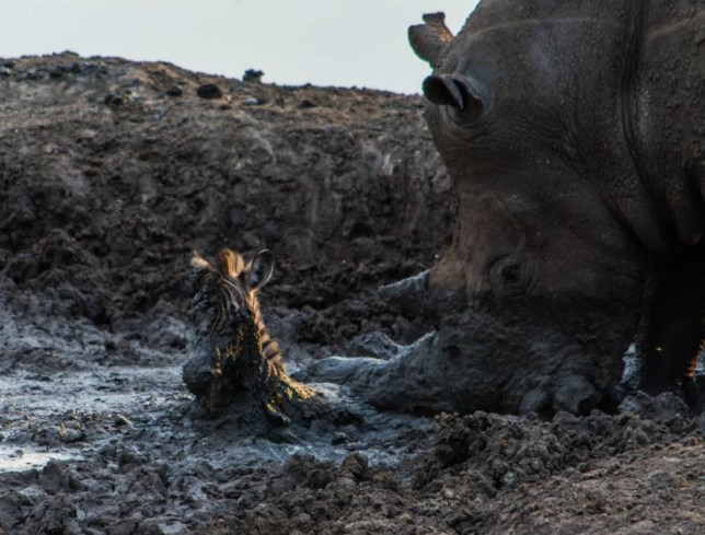 MADIKWE, SOUTH AFRICA: A RHINO was snapped fishing a zebra foal out of a mud pit with its horn. The bizarre pictures show how the giant two-tonne beast spotted the baby zebra being stuck in the mud and attempted to lift the hapless creature with its horn. South African guide Roel van Muiden was showing visitors around the Madikwe Game Reserve when he saw the incredible scene, which sadly ended in the death of the foal.