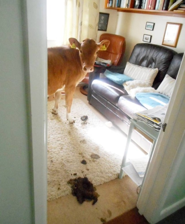 """One of the cows Pat Costen found wandering around inside her house. See SWNS story SWCOWS; A Guernsey woman has spoken of her shock at finding two cows wandering around her house. Pat Costen forgot to lock a door and the two cows made their way inside and left a trail of deposits in their wake. She said: """"I was in the shower and when I came out I could smell something. I looked over the banister and there was large cow pat."""""""