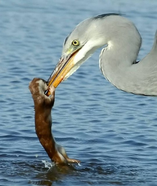 Pictured is a heron drowning a weasal. Birds are getting their own back after a weasel was spotted riding a kingfisher ñ by MURDERING them.  See SWNS story SWBIRDS. In two separate incidents, just days after the kingfisher-riding weasel went viral, huge grey herons were spotted killing and eating his cousins.  Gavin Jones spotted a heron fighting to the death with a stoat ñ also known as a short-tailed weasel ñ by brutally pecking it to death. And just a day later, Jonathan Forgham (corr) managed to capture the moment another cruel heron tortured and drowned a poor weasel after the brave fluffy critter valiantly fought against its much bigger foe. 9 March 2015
