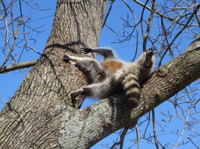 "MANDATORY CREDIT: Tuckerton Fire Department/Rex Features  Mandatory Credit: Photo by Tuckerton Fire Department/REX (4519990a)  Raccoon with head stuck in tree  Raccoon whose head was stuck in a tree is rescued, Tuckerton, New Jersey, America - 09 Mar 2015  A hapless raccoon was spotted with its head stuck in a tree.  Thankfully, a nearby homeowner called in the professionals and a firefighting crew attended the scene in New Jersey on Monday (9 Mar).  The Tuckerton Fire Department bought the ladder, while Wayne Tonnesen, a retired New Jersey conservation officer, began the task of trying to extract the small mammal.  A fire department spokesperson said: ""Tonnesen attempted to free the animal by hand, but was unable to dislodge it. He then used an air chisel to enlarge the hole and free the raccoon.""  Assistant Fire Chief Lee Eggert said the raccoon stuck his head in the knot to get a nut left behind by another animal. ""He had been clawing at the tree for a while,"" he explained.  Free from it's woody predicament, and without so much as a grateful wave of the paw, the raccoon scampered off with no apparent injuries."