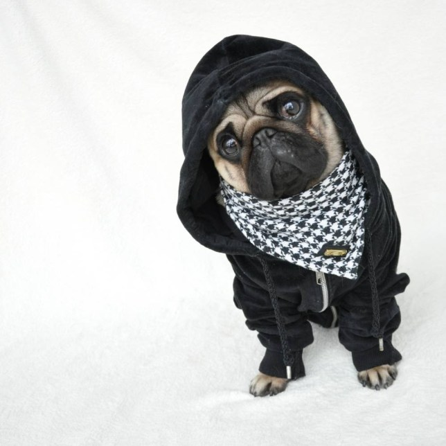 0ec1b6a71 HERISAU, SWITZERLAND - UNKOWN: Pug life: Nutello wear a hoodie and scarf,