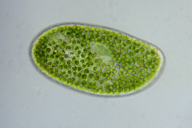 Chlorella algae
