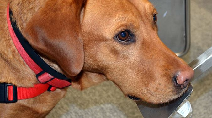 A British dog charity is to work alongside a German research project to detect cancer (Picture Medical Detection Dogs)